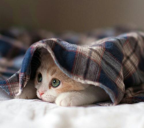 ブランケットにくるまる猫