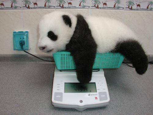 肥満度を測られるパンダ