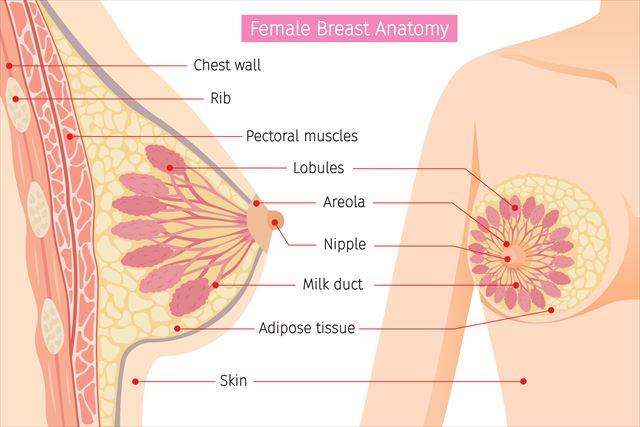 女性の胸の断面図